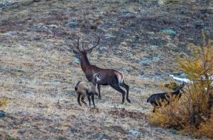 Cervo e camosci