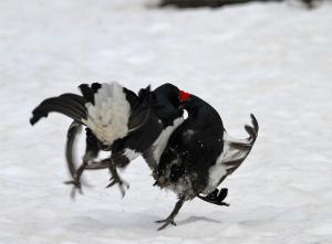 Duello tra galli forcelli