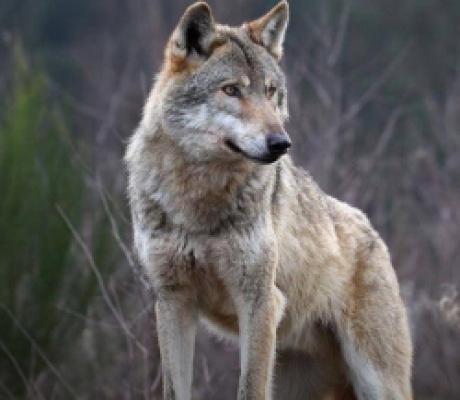 In Spagna si abbatteranno 34 lupi