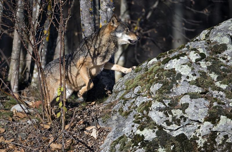 Top Meglio nascere lupo che agnello CU26