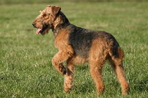 Cani Terrier